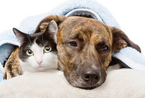 İltihap Sökücü İlaçlar, Köpekler ve Kediler İçin Ölümcül Olabilir