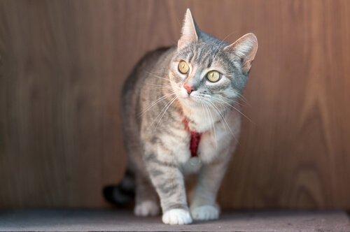 Kedilere Tasma Takmalı mıyız?