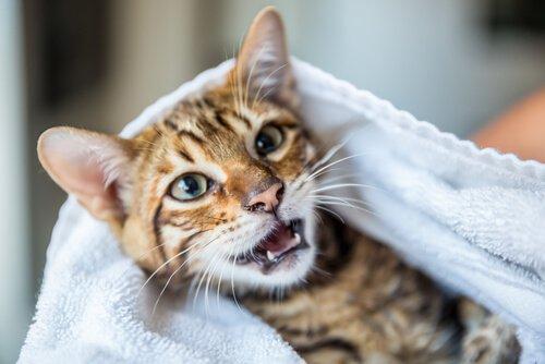 Bir Kediyi Yıkamadan Nasıl Temizlersiniz?