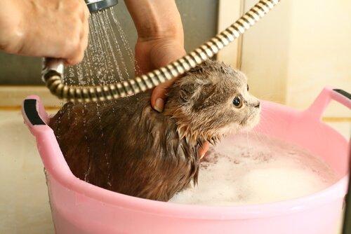 banyo yaptırılan kedi