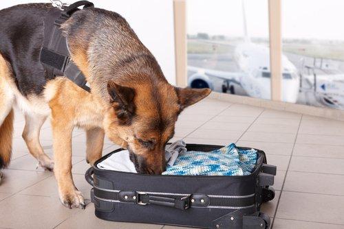 bavulu koklayan köpek