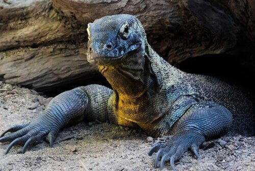 komodo ejderi yaşam ortamı