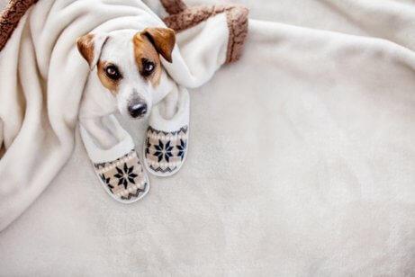 battaniye altında oturan köpek