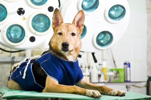 ameliyathanede köpek
