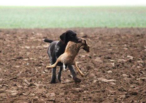 Köpeğiniz İyi Bir Avcı mı?