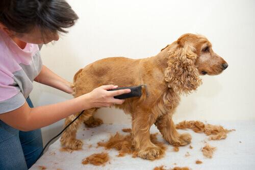 Köpek Tıraşı, Köpek Kuaföründe Mi Evde Mi Olmalı?