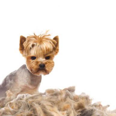 Köpeklerde Tüy Dökülmesi: Sebepleri ve Tedavisi