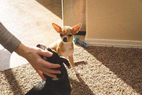 Köpeklerde Kıskanma Duygusu Var Mıdır?