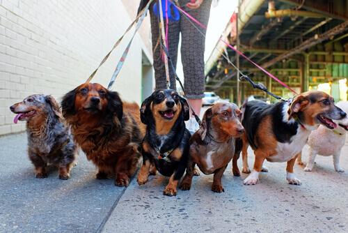 bir sürü köpek