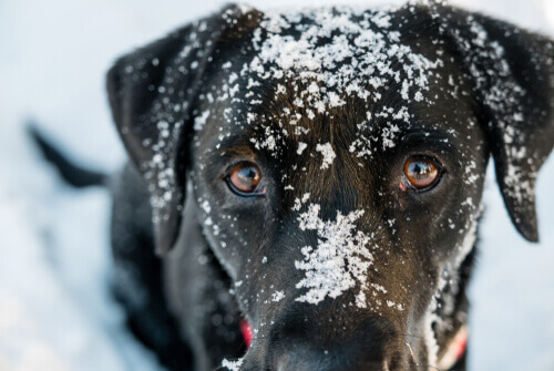 Köpeklerde Hipotermi: Belirtileri ve Tedavisi