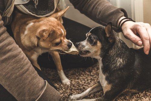 köpeklerde kıskanma duygusu
