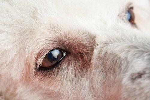 Köpeklerde Konjunktivit: İlk Semptomları ve Tedavisi