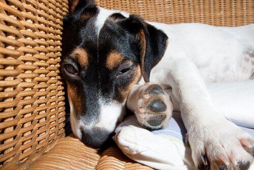 uykusu gelen köpek