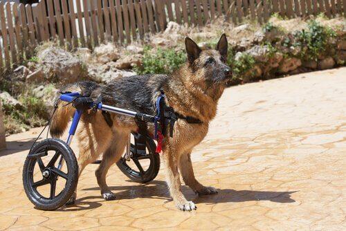 Köpeklerin Arka Bacaklarındaki Güçsüzlük