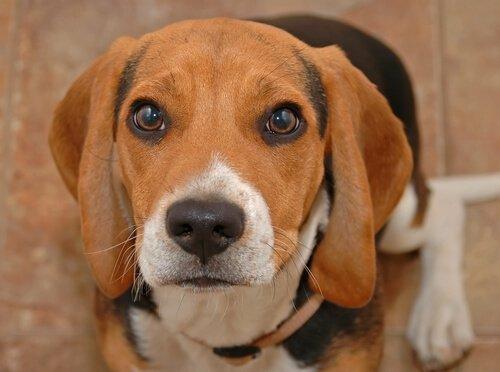 Köpeklerin Gözleri Neden Yaşarır?