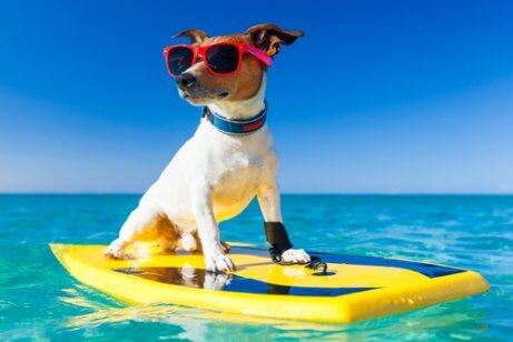 güneş gözlüklü sörf yapan köpek