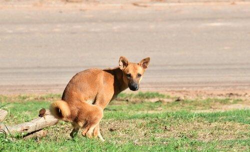 kakasını yapan köpek
