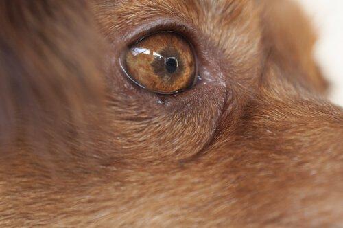 Köpeklerde Pembe Göz: Belirtileri, Önlenmesi, Tedavisi