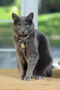 tasmalı korat kedisi