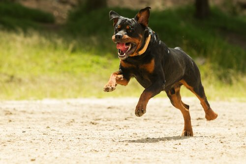 koşan siyah köpek