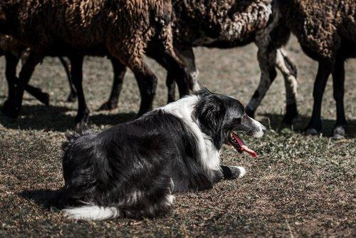 Koyun sürüsünü güden çoban köpeği
