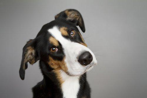 köpeklerde otit