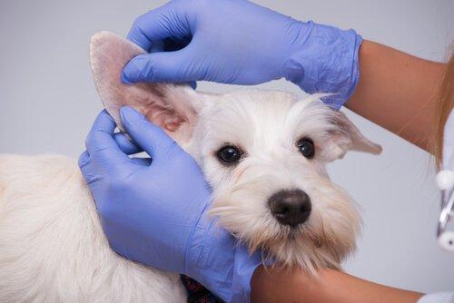 Kulak kontrolü yapılan beyaz bir köpek