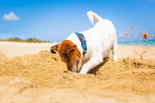 Kumda çukur kazan bir köpek