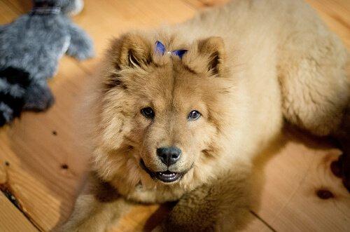 mavi dilli chow chow köpekleri
