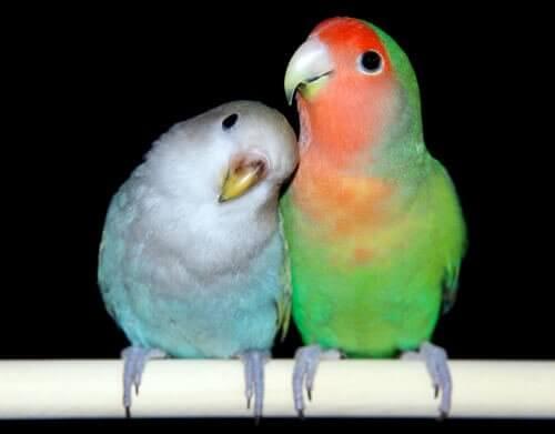 muhabbet kuşu çifti ve üremesi