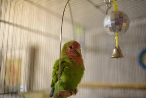 muhabbet kuşu yetiştirmek