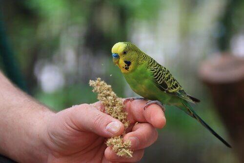 Muhabbet Kuşları için En İyi Ortamı Hazırlamak