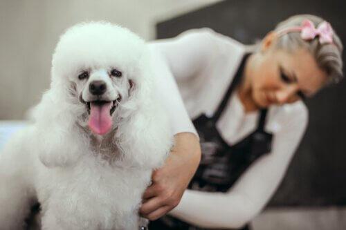 köpek kuaföründeki mutlu köpek