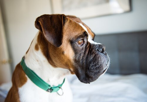 Köpeklerde Depresyon Belirtileri