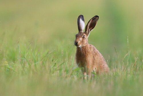 ormanda oturan yaban tavşanı