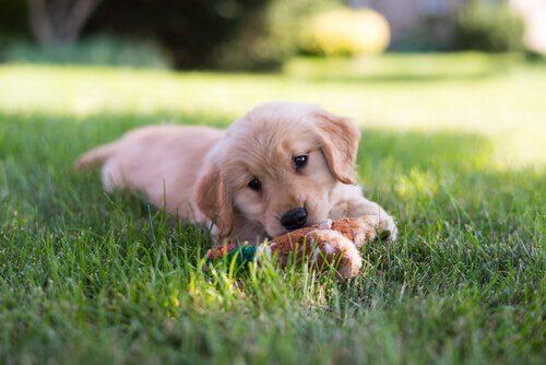 Çimlerde oyuncakla oynayan bir köpek yavrusu