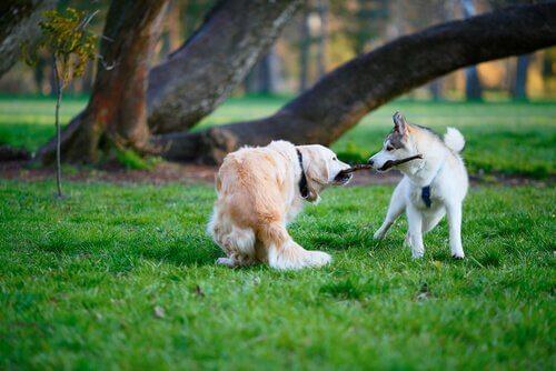 iki köpek tek dal