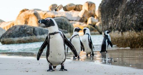 bir penguen sahiplenin