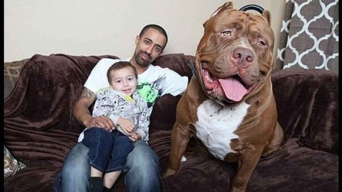 bir aile köpeği olarak pitbull