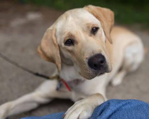 Sahibine bakan bir Labrador ve otitis