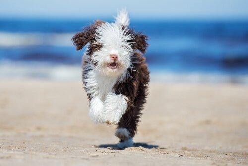 Portekiz Su Köpeği Bakımı ve Temizliği