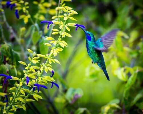Sinek kuşu nektar toplarken