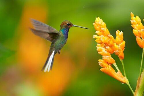 nektar alan sinek kuşu