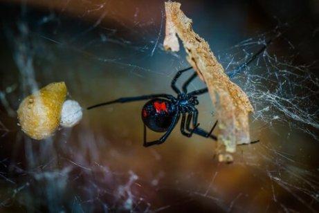 doğada siyah kırmızı örümcek