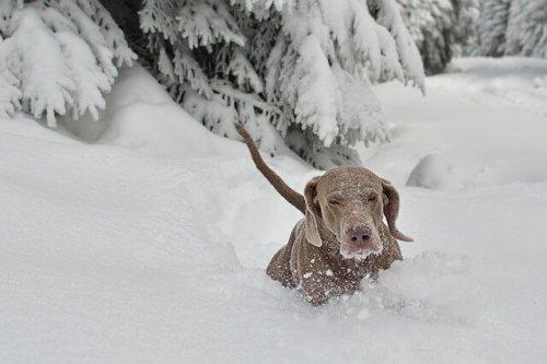 Soğuk İklim Köpekleri Arasından 10 Köpek Cinsi