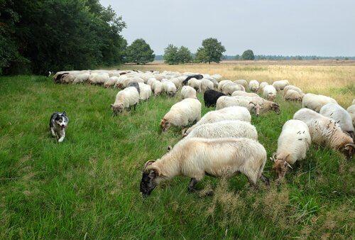 çobanlık yapan köpekler