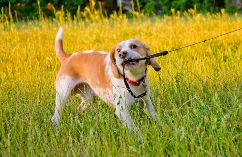 tasmasını çekiştiren köpek