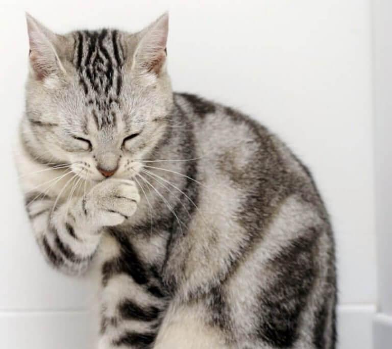 kedilerde üst solunum yolu enfeksiyonu