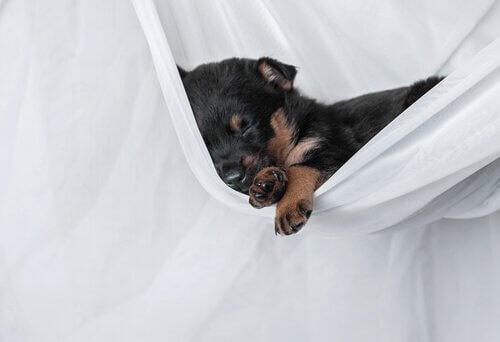 yavru köpeğin evdeki ilk günleri