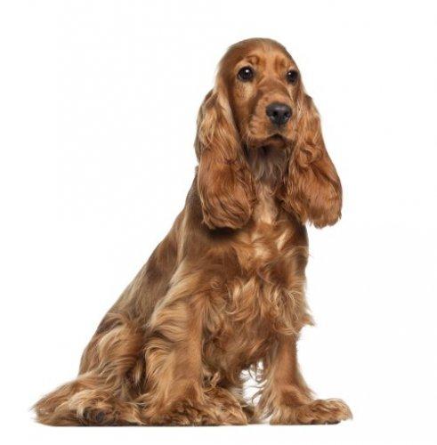 uzun kulaklı köpekler iltihap